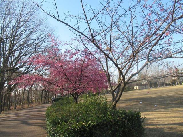 ①-1 河津桜・東村山中央公園.jpg