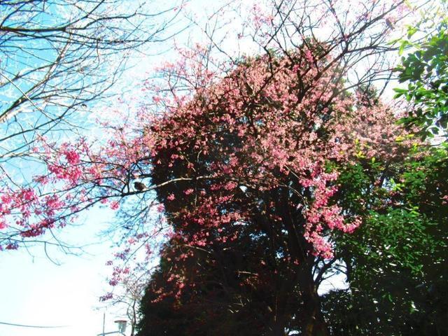 ②-1 寒緋桜.jpg