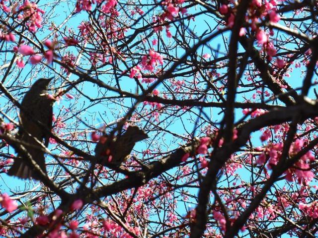 ②-2 寒緋桜にヒヨドリ.jpg