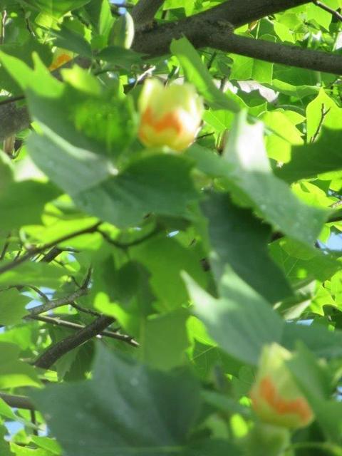 ⑦-2 滝山団地・ユリノキの花.jpg