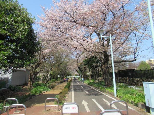⑧-3 狭山―境緑道、花街道花壇の桜.jpg