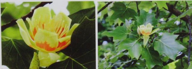 写真① ユリノキの花と葉っぱ.jpg