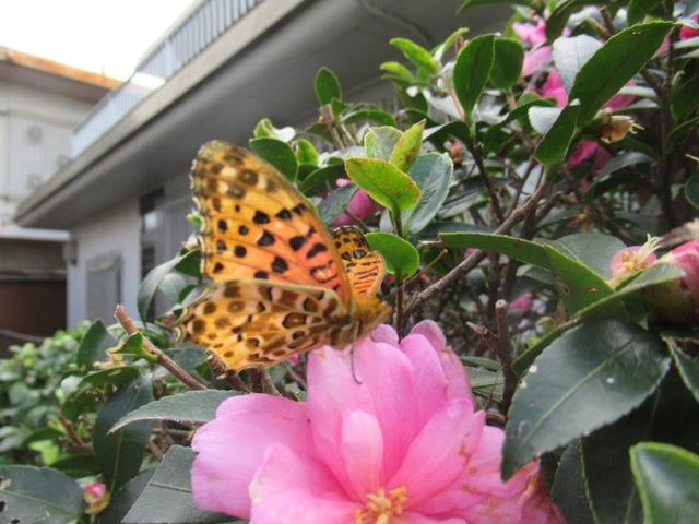 写真①-4 ツマグロヒョウモン 4 山茶花の花に・・・.jpg