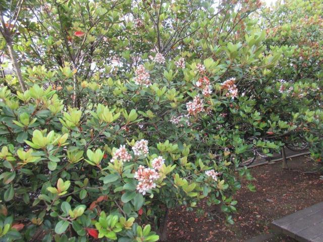 写真①-4 モッコクの花.jpg