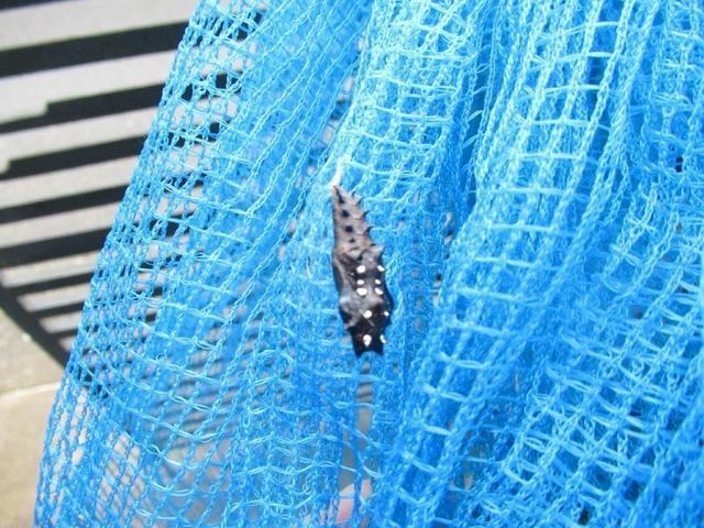 写真①-1 ツマグロヒョウモン 1、蛹、10月28日.jpg