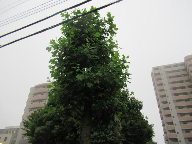 写真②-1-2 鈴木町1丁目 ユリノキ②.jpg