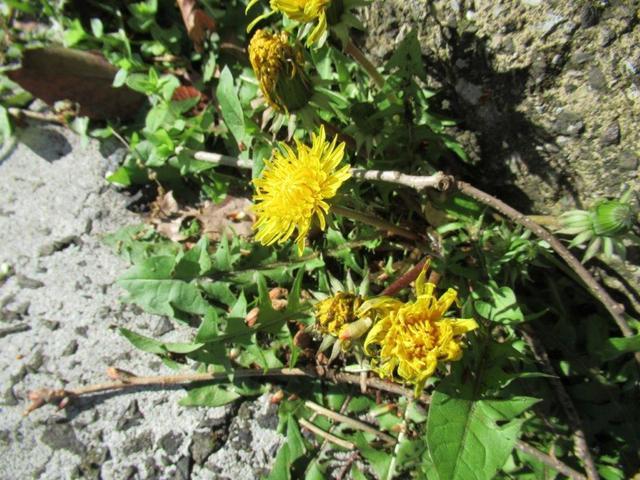 写真③-1  西洋タンポポの花.jpg