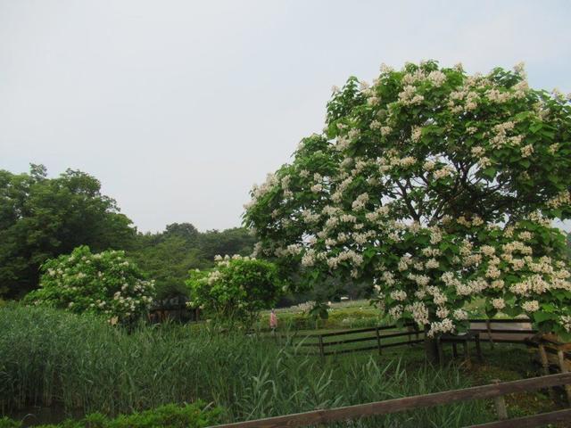 写真③-1 ハナキササゲの花.jpg