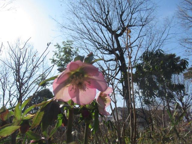 写真④-1 X'mas Rose・アジサイ公園.jpg