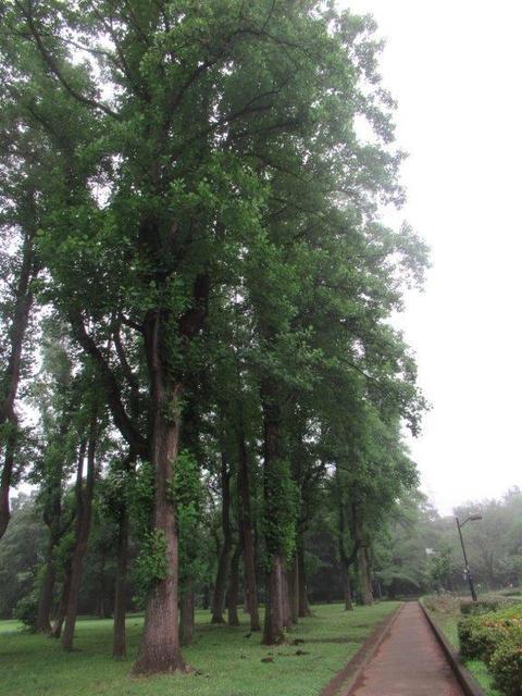 写真④-3-1 小金井公園 中央ユリノキ並木.jpg