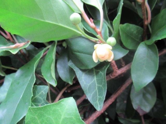 写真④-4 ビナンカズラの花.jpg
