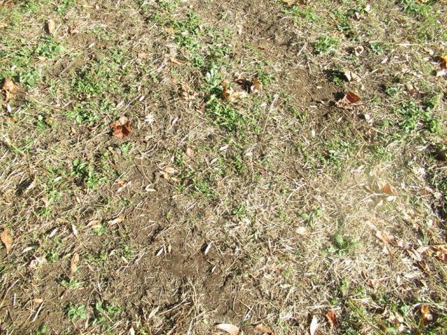写真④-4 ユリノキの下・落ち葉と種子.jpg