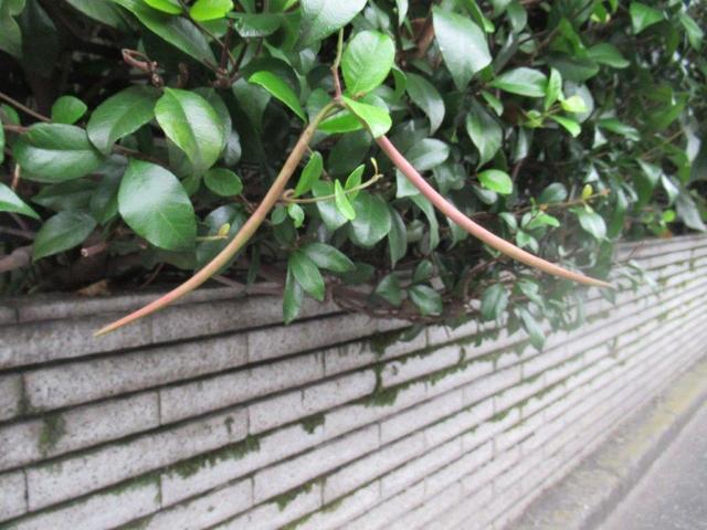 写真⑤-2 テイカカズラの種子・鞘.jpg