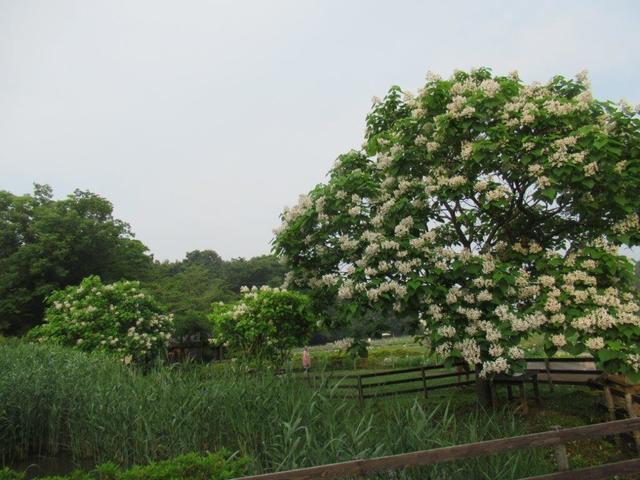 写真⑤-2 ハナキササゲの樹、4本あり.jpg