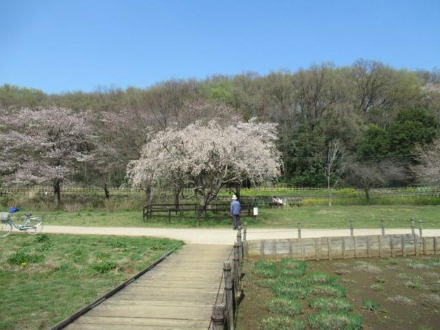 写真⑤-3 北山公園(2)3月26日、三春櫻.jpg