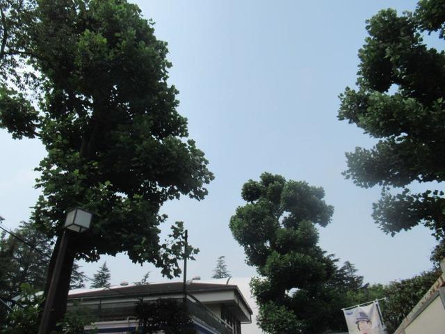 写真⑥ 神宮外苑 スポーツ広場 ユリノキ 8月8日.jpg