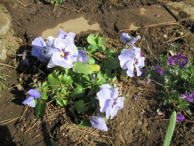 写真⑥-3 紫パンジー・アジサイ公園.jpg