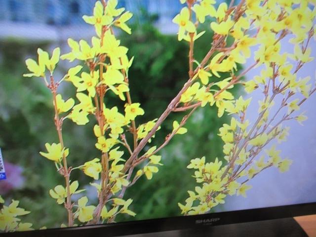 写真⑦-2 レンギョウ・NHK朝一.jpg