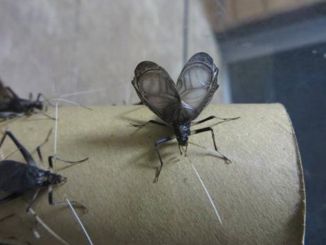 写真⑧-5 鳴く虫コンクール スズムシ.jpg
