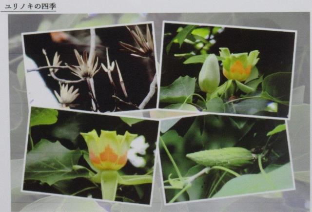写真⑨ ユリノキの四季.jpg