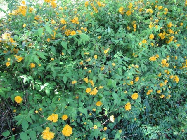 写真⑨-1 山吹の花.jpg